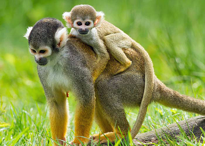 Monkeys in Costa Rica. Photo courtesy of Wild Planet Adventures
